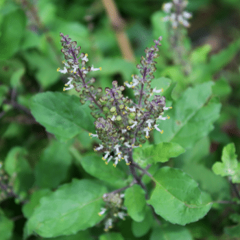 Tulsi leaves for removing fluoride from water cheaply